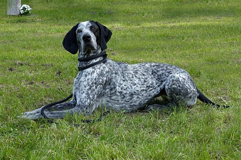 French Pointer Of Pyrenees