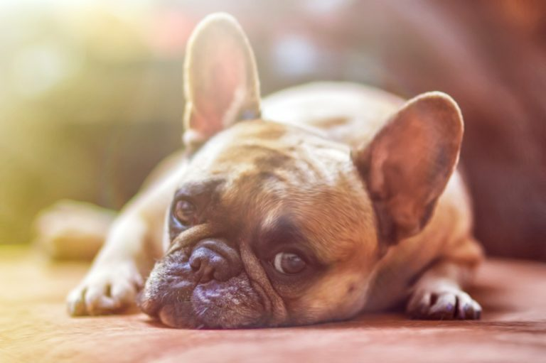 Preparing a Female dog For Pregnancy, Delivery, And Puppy Care