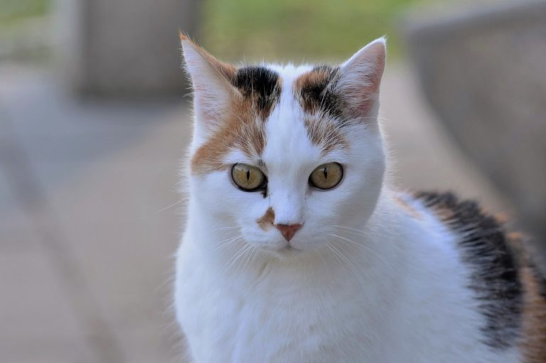 Nervous System And Hormonal Disorders In Cats