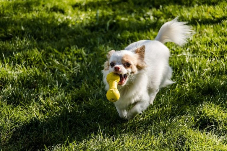 Small Dog Breeds (Toy Breeds)