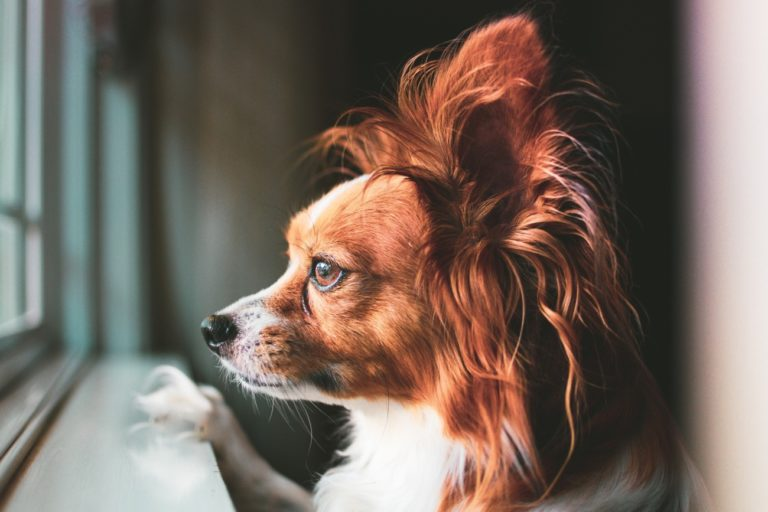 Behavior Issues – How To Train Your Dog To Respect You as the Alpha – Dog Psychology