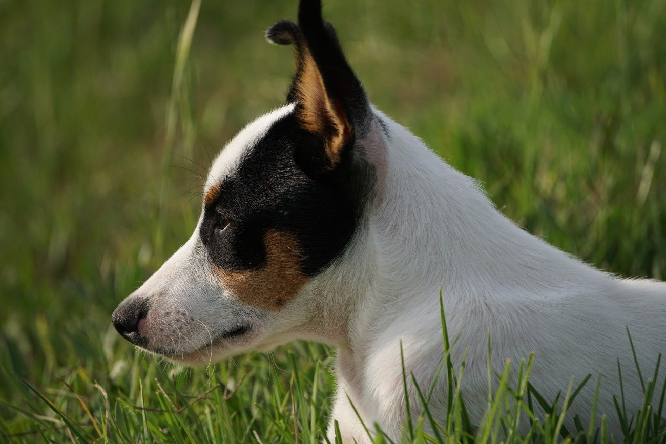Fox Terriers - Smooth And Wire Haired Coats