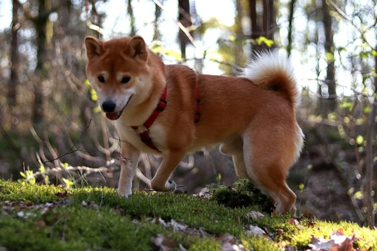 The Most Famous Japanese Dog Breeds