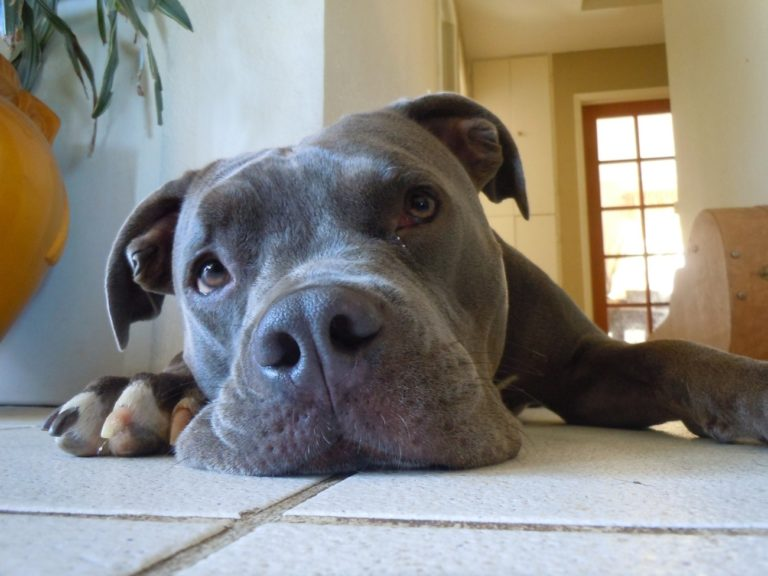 15 Pit Bull Dog Breeds and Similarities
