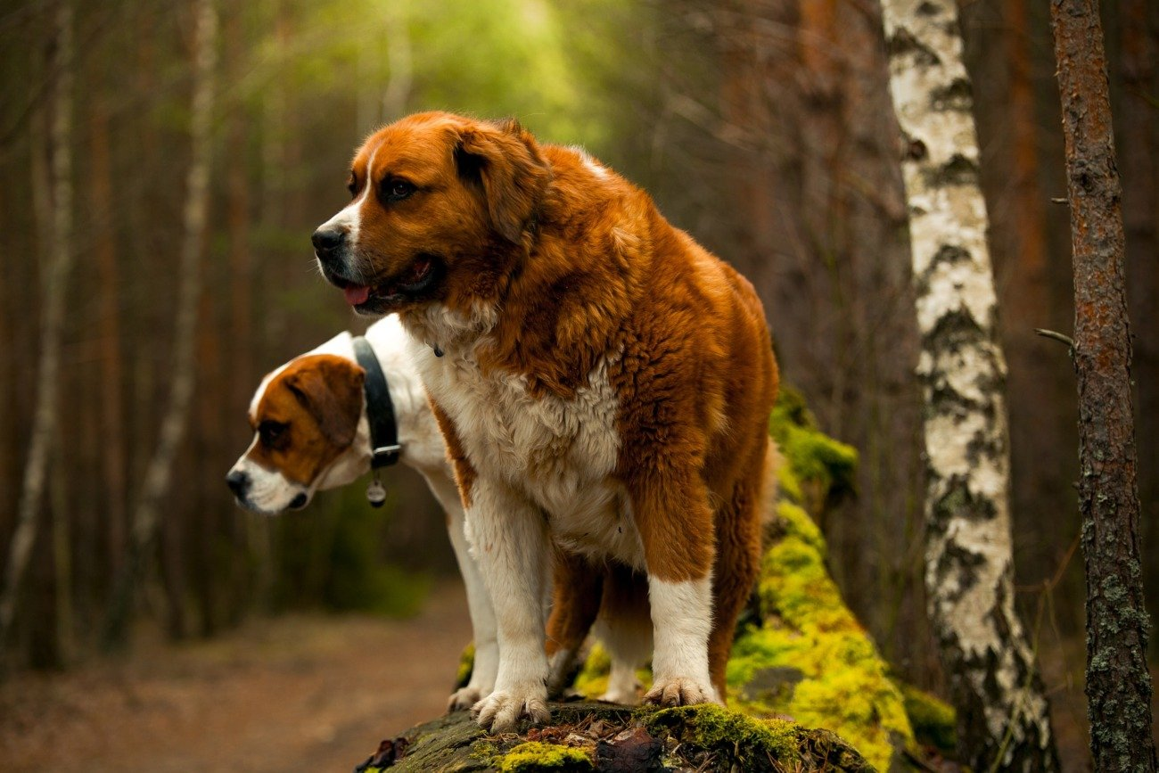 The Biggest, Tallest, Strongest, Largest Dog Breeds In The World